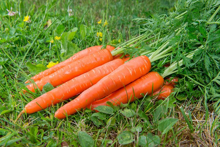 how do you know when carrots are ready to harvest